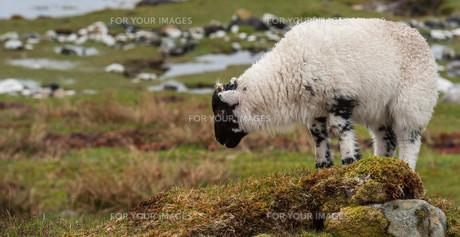 Young lamb grazingの写真素材 [FYI00783027]