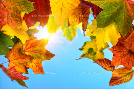 colourful autumn leaves and the sun in the blue skyの写真素材 [FYI00783492]
