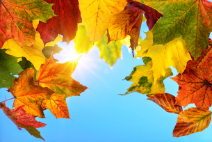 colourful autumn leaves and the sun in the blue skyの素材 [FYI00783492]