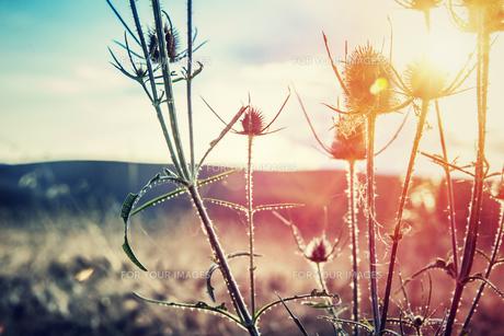 Thistle on sunsetの素材 [FYI00783986]