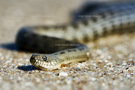 Water snake on the Bayの写真素材 [FYI00784044]