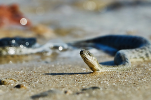 Water snake on the Bayの写真素材 [FYI00784051]