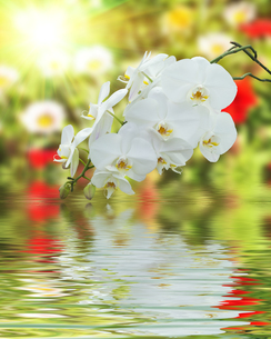 White Orchid on Surface Rippled of water and blur nature backgroundの写真素材 [FYI00784121]