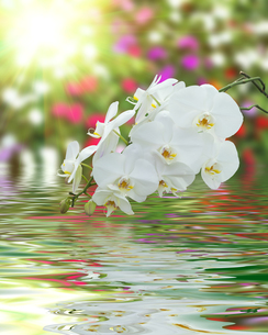 White Orchid on Surface Rippled of water and blur nature backgroundの写真素材 [FYI00784122]