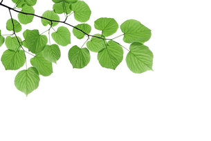 Branch with fresh green leaves - isolated on white backgroundの写真素材 [FYI00784186]