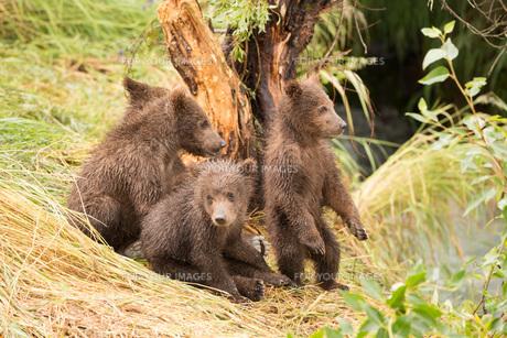One bear cub standing and three sittingの素材 [FYI00784210]