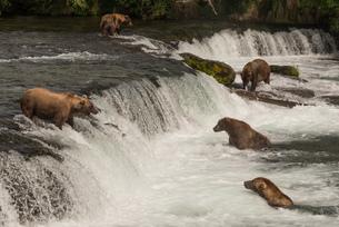 Five bears salmon fishing at Brooks Fallsの素材 [FYI00784219]