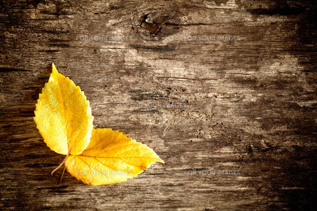 Old Autumn Leavesの素材 [FYI00784288]