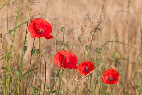 poppies,sky and barley - color harmonyの素材 [FYI00785002]