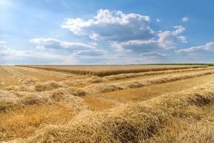 straw rows in front of a partially abgeerntetem wheat fieldの写真素材 [FYI00785660]
