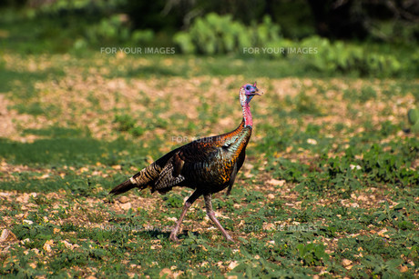 Rio Grande Turkeyの写真素材 [FYI00785751]