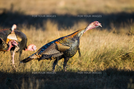 Texas Turkey Standingの写真素材 [FYI00785752]
