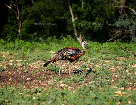 Vibrant Texas Turkey Walkingの写真素材 [FYI00785771]