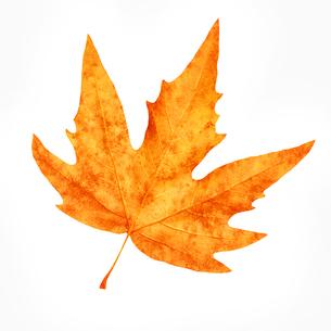 Dry maple leafの写真素材 [FYI00785958]