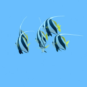 shoal of bannerfishes in tropical sea, underwaterの素材 [FYI00785959]