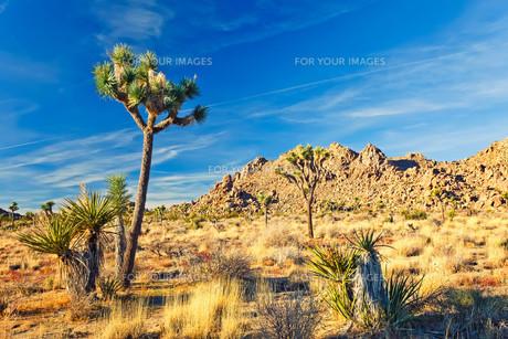 Joshua Tree National Park, Californiaの写真素材 [FYI00785965]