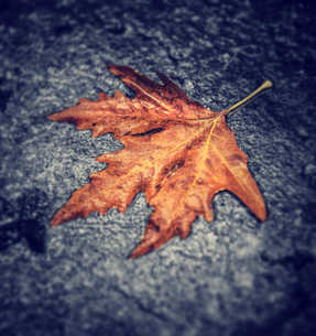 Dry maple leafの写真素材 [FYI00785975]