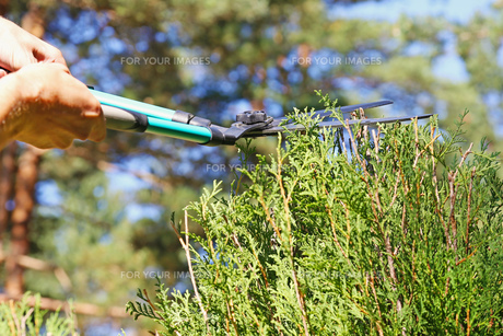 gardener cutting a hedge with a pruning scissorsの写真素材 [FYI00786932]