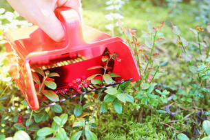 collecting berries in forest with comb pickerの写真素材 [FYI00786979]