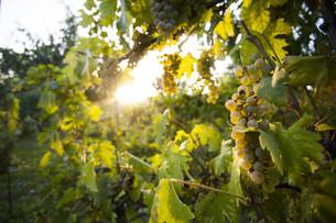 Sunny vineyard with eco ripe grapeの写真素材 [FYI00787003]