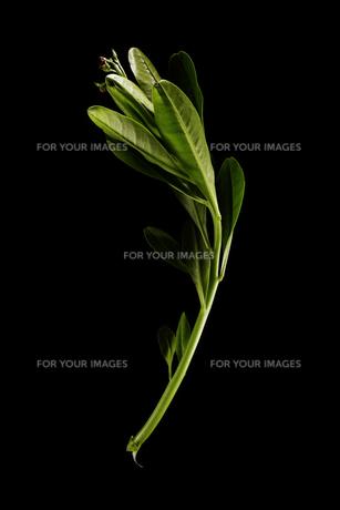 Japanese parsleyの写真素材 [FYI00787030]