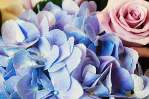 Blue Hydrangea and purple roseの素材 [FYI00787108]