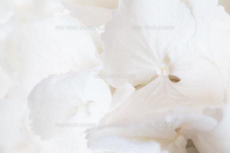 White Hydrangeaの写真素材 [FYI00787111]