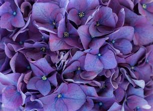 Hydrangea flowerの写真素材 [FYI00787120]