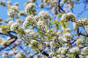 Cherry-plum Flowersの写真素材 [FYI00788022]