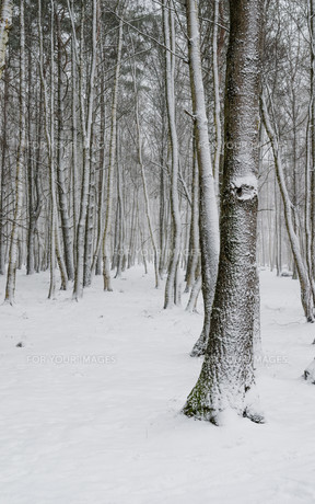 Snow covered tree trunks close-upの素材 [FYI00788550]