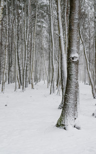 Snow covered tree trunks close-upの写真素材 [FYI00788550]