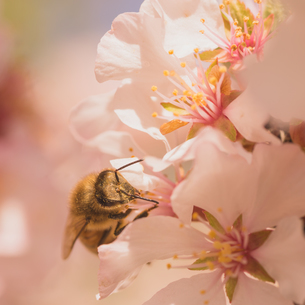 Worker Bee on Cherry Blossomsの写真素材 [FYI00789054]