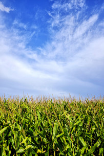 Clouds over a cornfieldの写真素材 [FYI00789156]