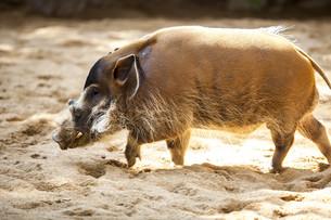Red river hogの写真素材 [FYI00789331]