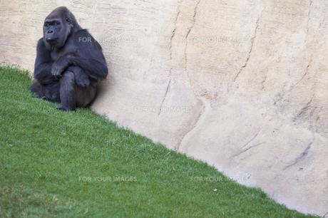 Western lowland gorillaの写真素材 [FYI00789388]