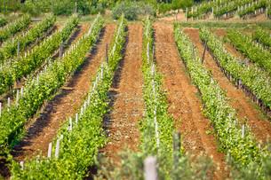 Vineyard on red dirt viewの写真素材 [FYI00789846]