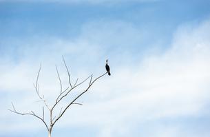 Single cormorant on dry tree looking upの写真素材 [FYI00789943]