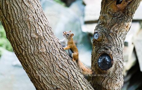 Squirrel on large angled tree branchの写真素材 [FYI00789951]
