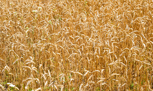 Wheat field stalks and seeds backgroundの写真素材 [FYI00789955]