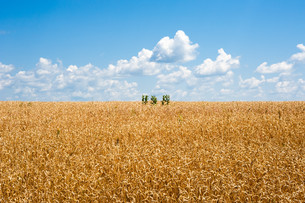 Yellow wheat field horizon with clouds and isolated plantsの写真素材 [FYI00789960]