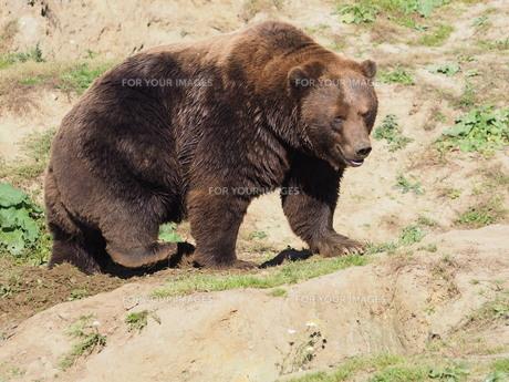 kamchatka brown bearの素材 [FYI00790002]