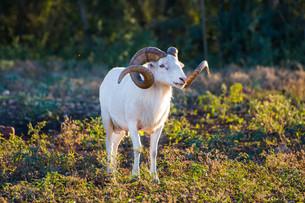 Texas Dall Sheep Ramの素材 [FYI00790115]