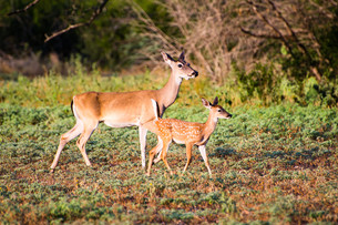 Whitetail fawn and doeの写真素材 [FYI00790135]