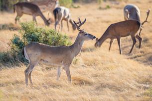 White-Tailed Buckの写真素材 [FYI00790541]