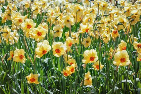 Narcissusの写真素材 [FYI00790996]