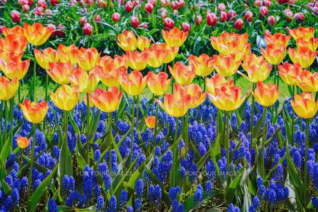 Tulipsの写真素材 [FYI00791044]