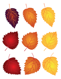 Birch Leaves in Fall Colors Illustrationの写真素材 [FYI00791052]