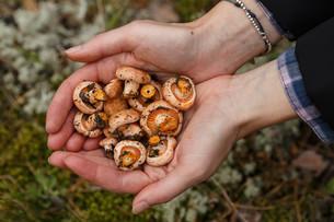 Handful of mushroomsの写真素材 [FYI00791117]