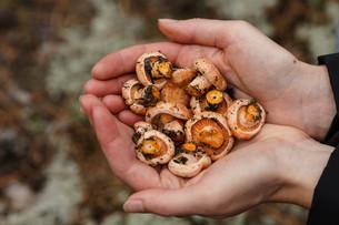Handful of mushroomsの写真素材 [FYI00791120]