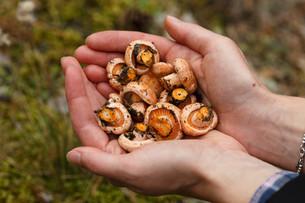Handful of mushroomsの写真素材 [FYI00791124]